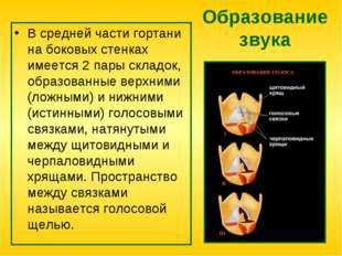 Образование звука В средней части гортани на боковых стенках имеется 2 пары с