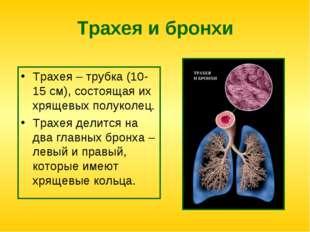 Трахея и бронхи Трахея – трубка (10-15 см), состоящая их хрящевых полуколец.