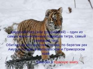 Амурский тигр (или уссурийский) – один из самых малочисленных подвидов тигра