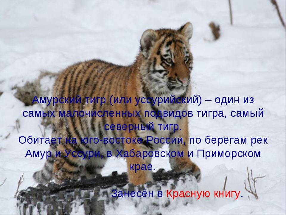 Амурский тигр (или уссурийский) – один из самых малочисленных подвидов тигра...