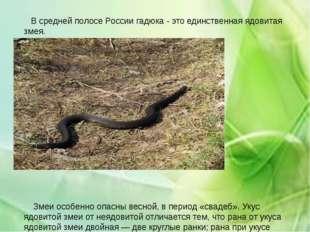 В средней полосе России гадюка - это единственная ядовитая змея. Змеи особен