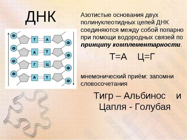 ДНК Азотистые основания двух полинуклеотидных цепей ДНК соединяются между соб...