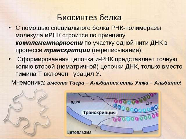 Биосинтез белка С помощью специального белка РНК-полимеразы молекула иРНК стр...