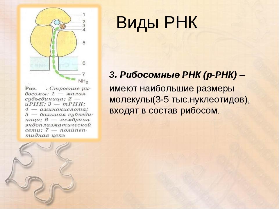 Виды РНК 3. Рибосомные РНК (р-РНК) – имеют наибольшие размеры молекулы(3-5 ты...