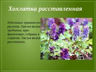 Хохлатка расставленная Небольшое травянистое растение, Цветки мелкие, трубчат