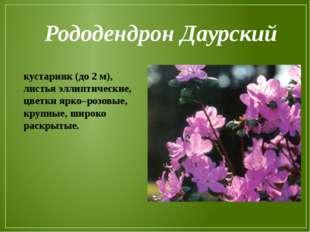 Рододендрон Даурский кустарник (до 2 м), листья эллиптические, цветки ярко–ро