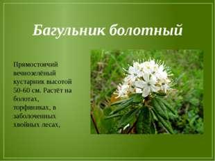 Багульник болотный Прямостоячий вечнозелёный кустарник высотой 50-60 см. Раст
