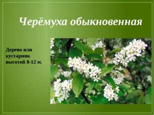 Черёмуха обыкновенная Дерево или кустарник высотой 8-12 м.