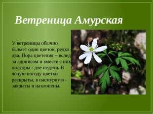 У ветреницы обычно бывает один цветок, редко два. Пора цветения – вслед за ад
