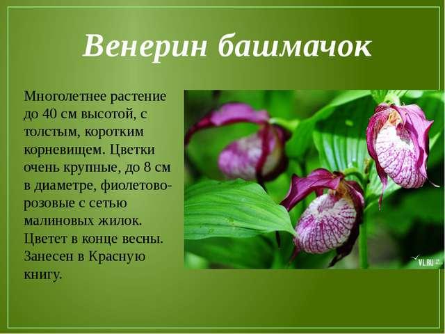 Венерин башмачок Многолетнее растение до 40 см высотой, с толстым, коротким к...