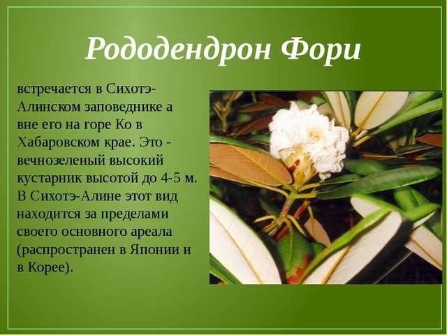 Рододендрон Фори встречается в Сихотэ-Алинском заповеднике а вне его на горе...