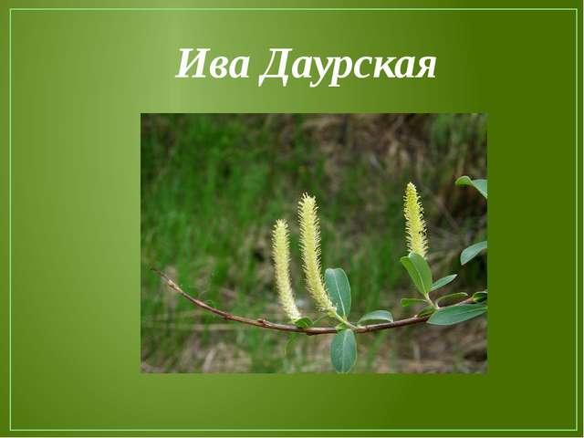 Ива Даурская