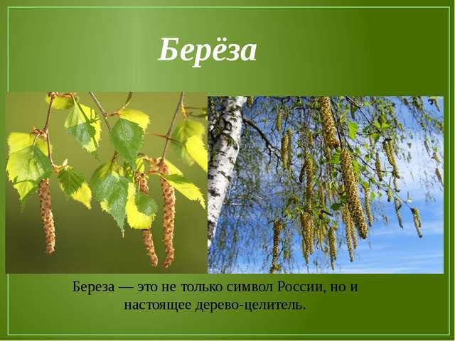 Береза — это не только символ России, но и настоящее дерево-целитель. Берёза