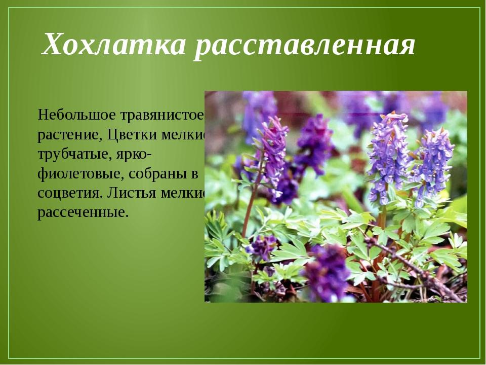 Хохлатка расставленная Небольшое травянистое растение, Цветки мелкие, трубчат...