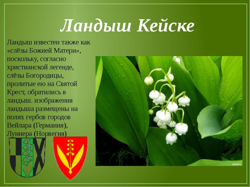 Ландыш Кейске Ландыш известен также как «слёзы Божией Матери», поскольку, сог...