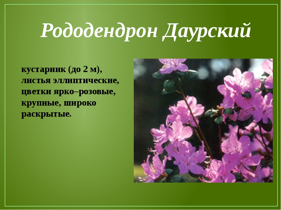 Рододендрон Даурский кустарник (до 2 м), листья эллиптические, цветки ярко–ро...