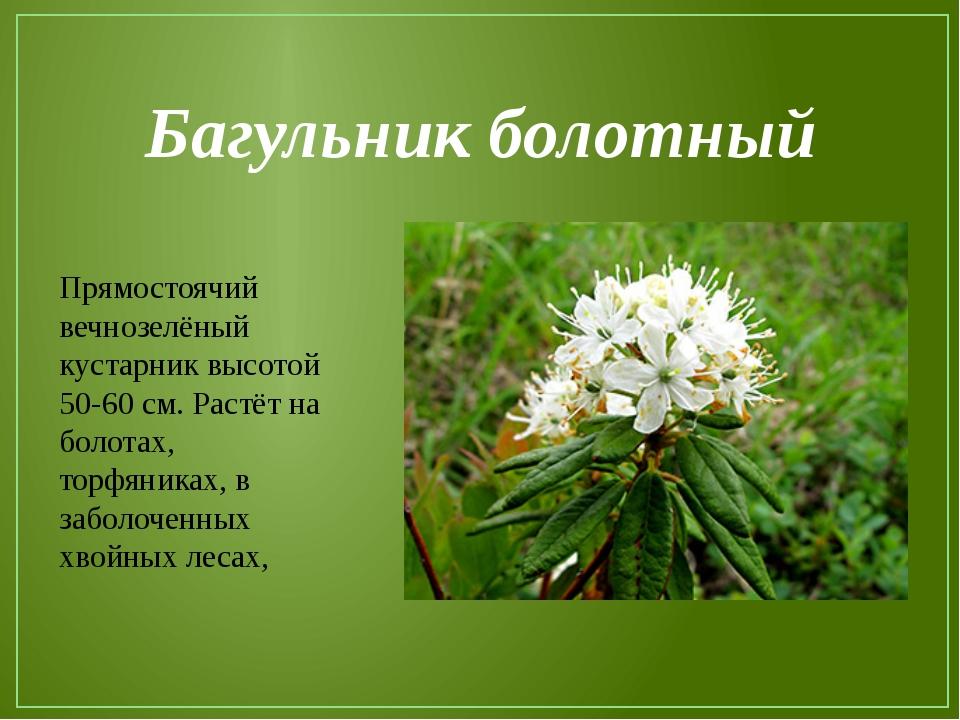 Багульник болотный Прямостоячий вечнозелёный кустарник высотой 50-60 см. Раст...