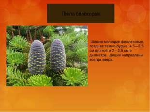 Шишки молодые фиолетовые, позднее темно-бурые, 4,5—5,5 см длиной и 2—2,5 см