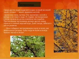 Среди других видов выделяется ярко-зеленой весенней хвоей, осенью — яркой, ор