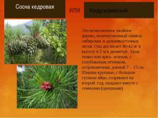 Сосна кедровая Это вечнозеленое хвойное дерево, величественный символ сибирс