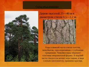 Сосна обыкновенная Дерево высотой 25—40 м и диаметром ствола 0,5—1,2 м. Кора