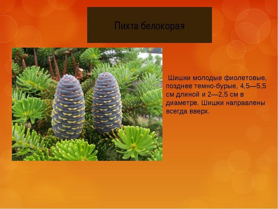 Шишки молодые фиолетовые, позднее темно-бурые, 4,5—5,5 см длиной и 2—2,5 см...
