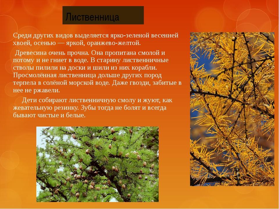 Среди других видов выделяется ярко-зеленой весенней хвоей, осенью — яркой, ор...