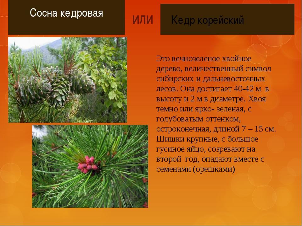 Сосна кедровая Это вечнозеленое хвойное дерево, величественный символ сибирс...