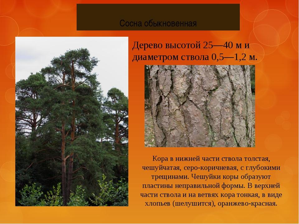 Сосна обыкновенная Дерево высотой 25—40 м и диаметром ствола 0,5—1,2 м. Кора...