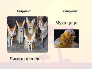 1 1вариант 2 вариант Муха цеце Лисица фенёк
