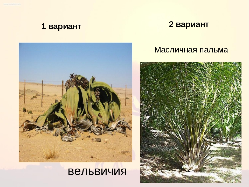1 1 вариант 2 вариант Масличная пальма вельвичия