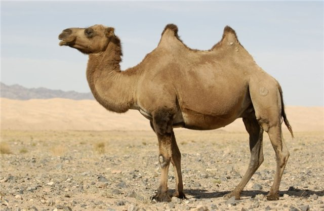 Прочитан геном двугорбого верблюда - Pandora