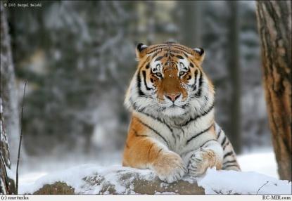 Фото Тигр, тигры, Ты горишь в ночных лесах.