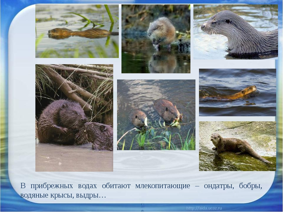 В прибрежных водах обитают млекопитающие – ондатры, бобры, водяные крысы, выд...
