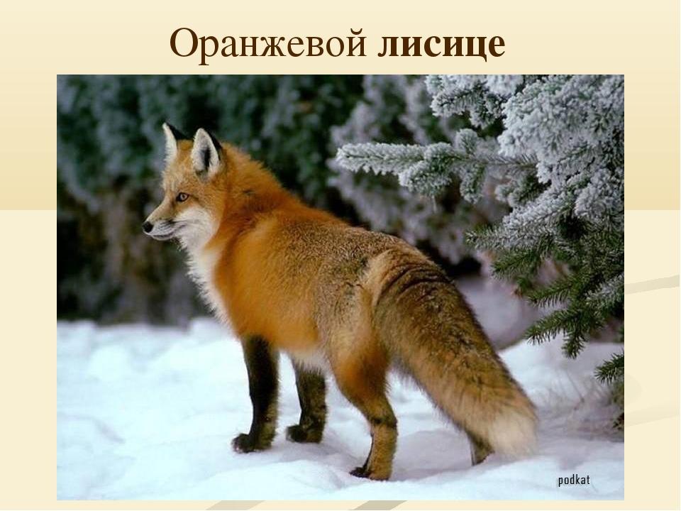 Оранжевой лисице