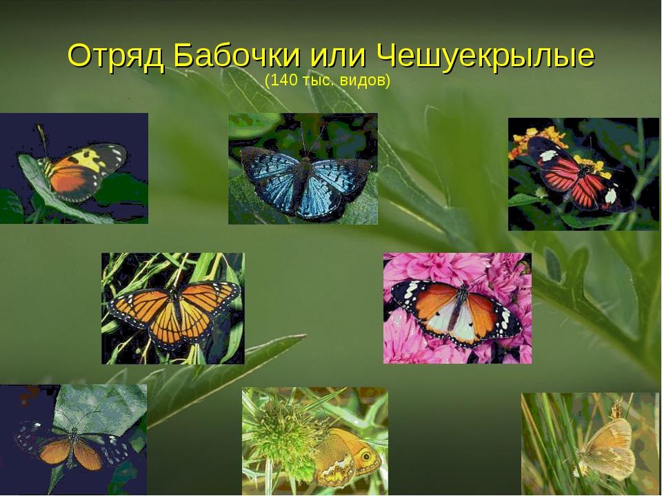 Отряд Бабочки или Чешуекрылые (140 тыс. видов)