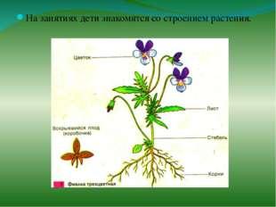 На занятиях дети знакомятся со строением растения.