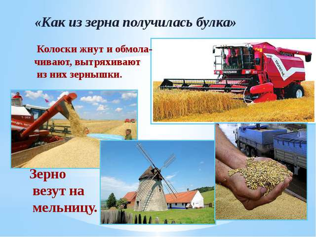 «Как из зерна получилась булка» Колоски жнут и обмола- чивают, вытряхивают и...