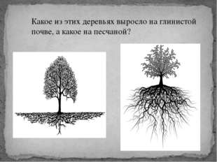 Какое из этих деревьях выросло на глинистой почве, а какое на песчаной?