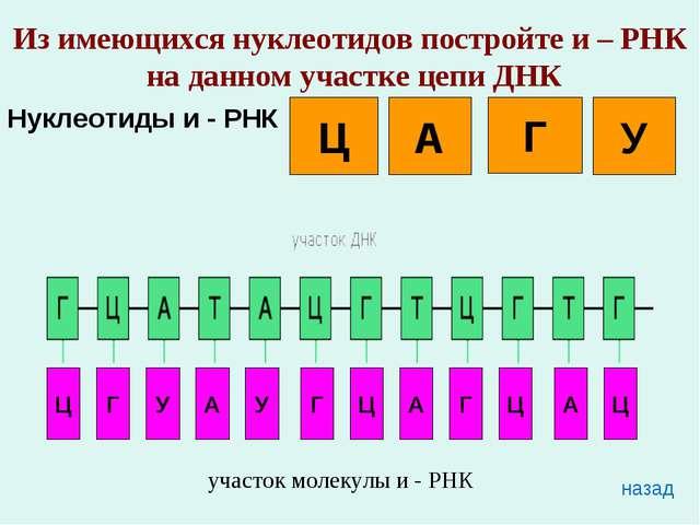 Из имеющихся нуклеотидов постройте и – РНК на данном участке цепи ДНК Нуклеот...