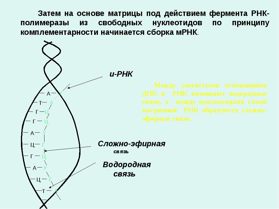 Затем на основе матрицы под действием фермента РНК-полимеразы из свободных...
