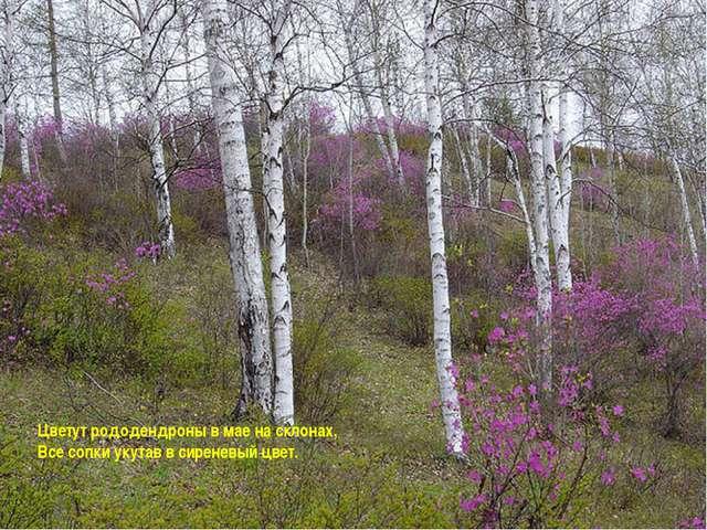 Цветут рододендроны в мае на склонах, Все сопки укутав в сиреневый цвет.