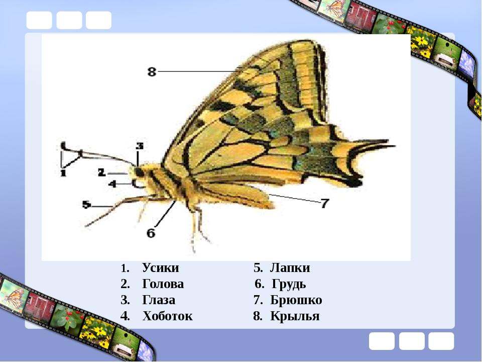 Усики 5. Лапки Голова 6. Грудь Глаза 7. Брюшко Хоботок 8. Крылья