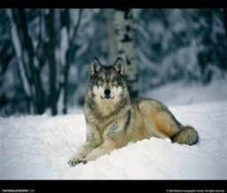 wolf23.jpg
