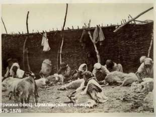 Стрижка овец. Цимлянская станица. 1875-1876