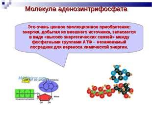 Молекула аденозинтрифосфата Это очень ценное эволюционное приобретение: энерг