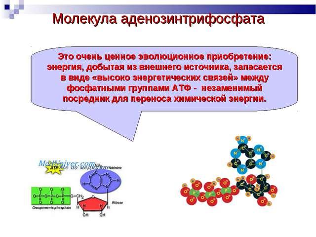 Молекула аденозинтрифосфата Это очень ценное эволюционное приобретение: энерг...