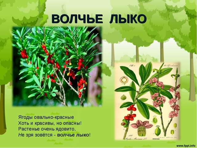 ВОЛЧЬЕ ЛЫКО Ягоды овально-красные Хоть и красивы, но опасны! Растенье очень я...