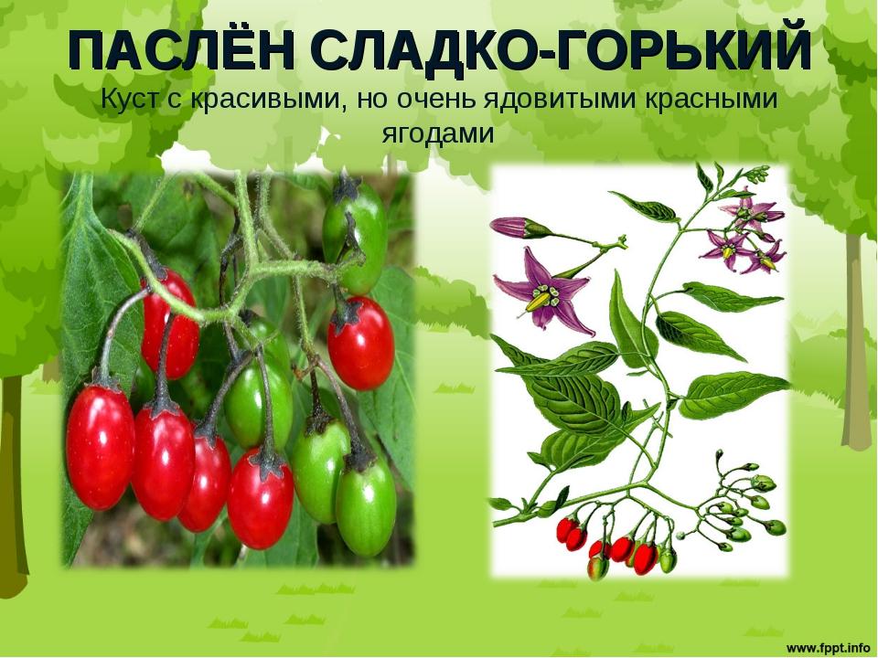 ПАСЛЁН СЛАДКО-ГОРЬКИЙ Куст с красивыми, но очень ядовитыми красными ягодами