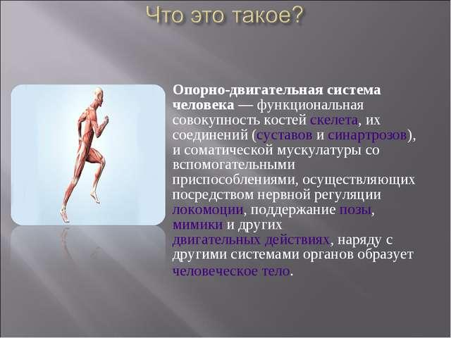 Опорно-двигательная система человека— функциональная совокупность костейске...
